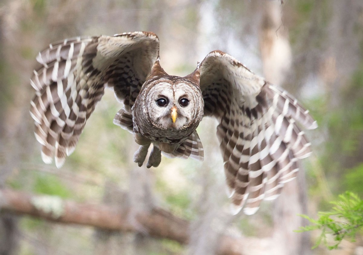 Barred Owls in theForest