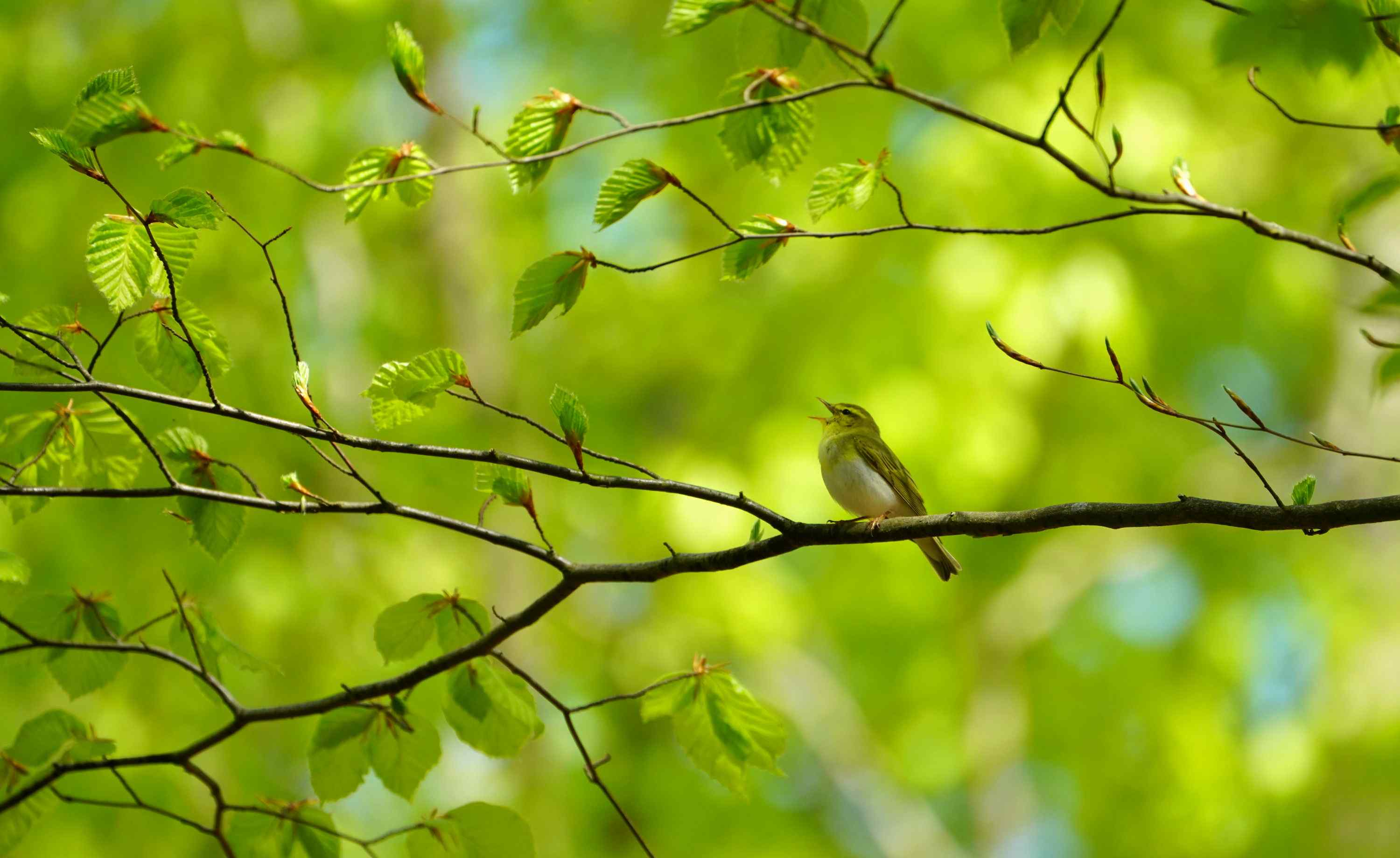 seldom bird (wood warbler) normally in primary forests