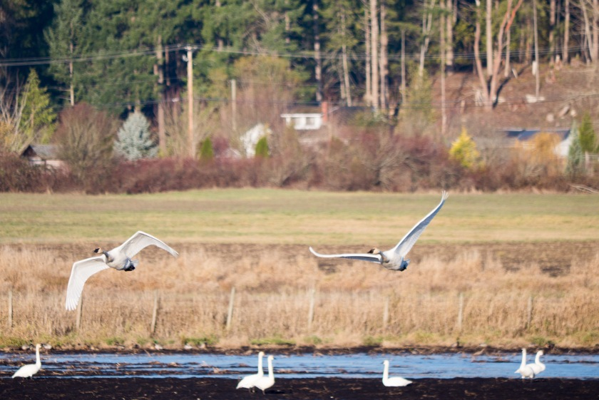 Swans Flying Over Field
